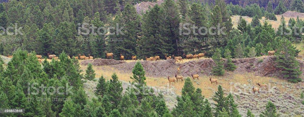 Elk on Rimrocks stock photo