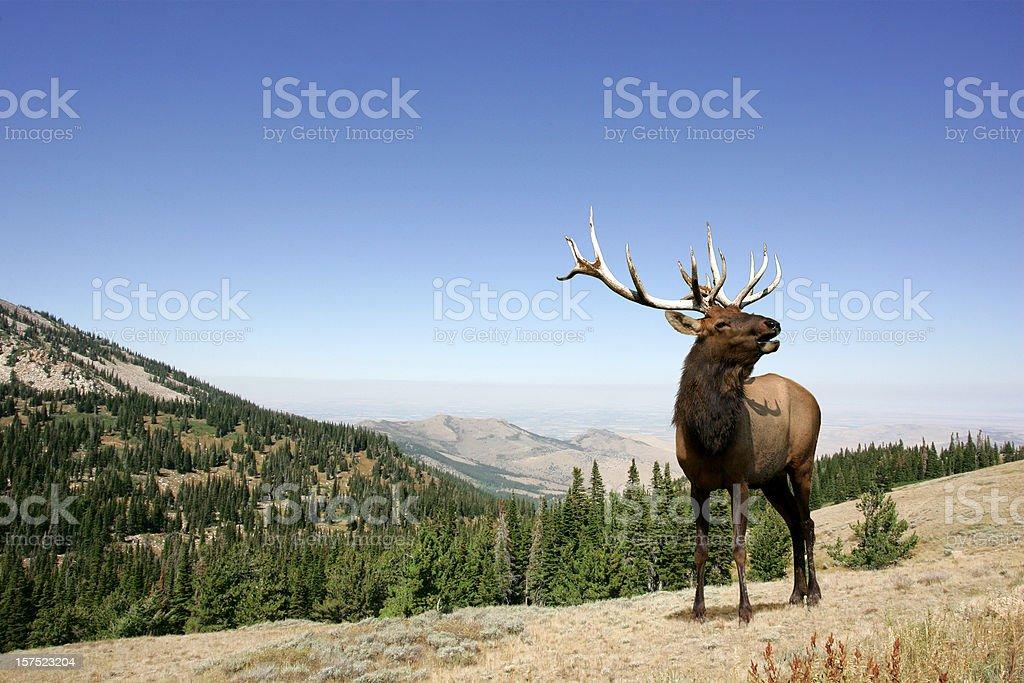 Elk royalty-free stock photo