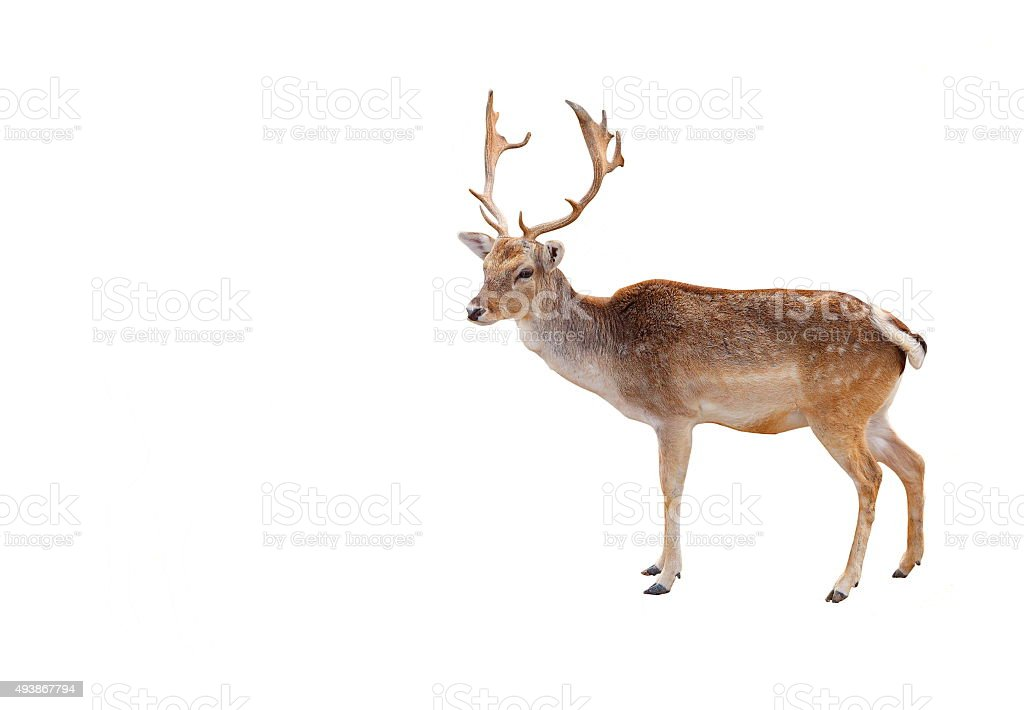 Elk stock photo