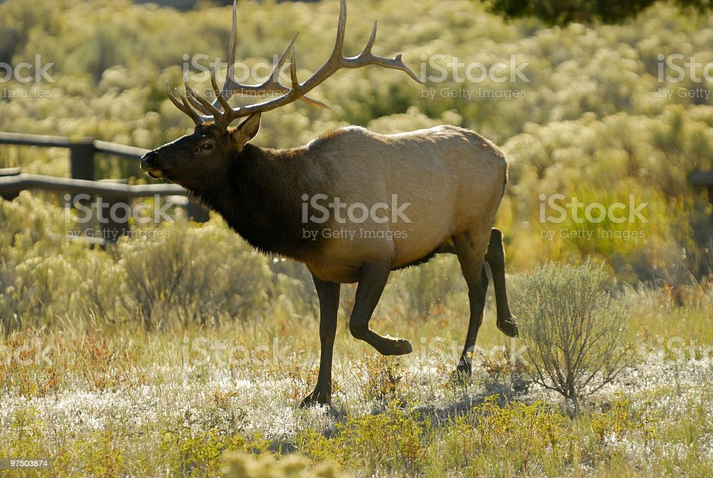 Elk royalty-free stock photo