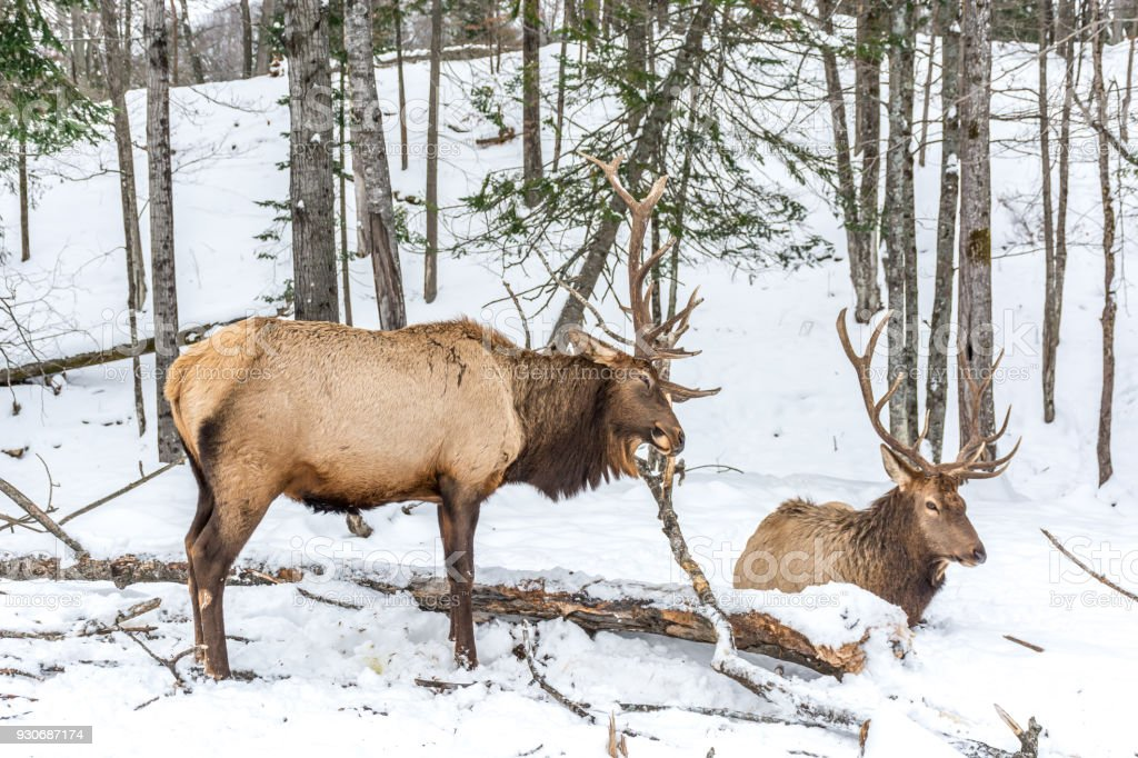 Elk Rattling Next to His Friend stock photo