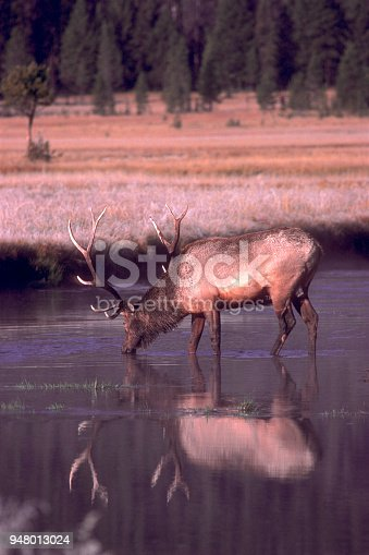 A bull elk pauses for a drink while crossing a small river in Wyoming.