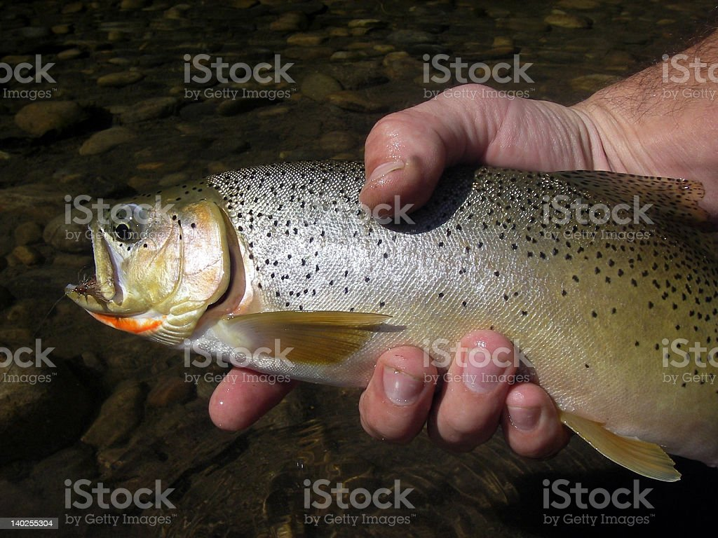 Elk River Cutthroat Trout royalty-free stock photo