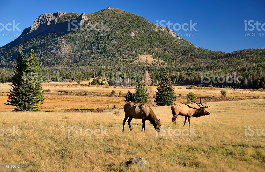 Elk, Rocky Mountain National Park stock photo