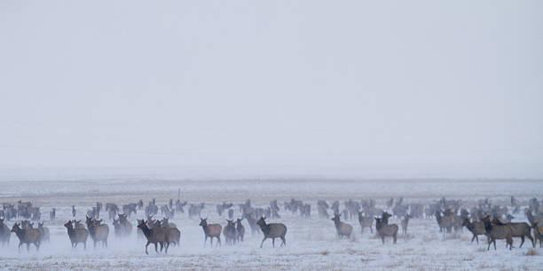 Elk Running stock photo