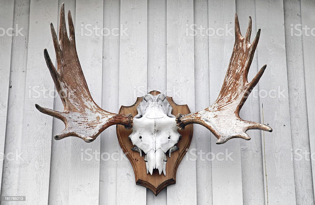 Elk scull with horns hanging on white wooden wall stock photo