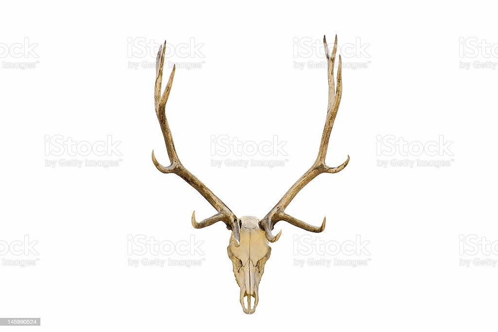 Elk skull isolated royalty-free stock photo
