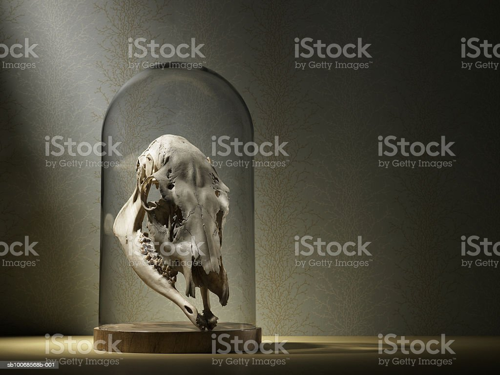 Elk skull under glass dome royalty-free stock photo