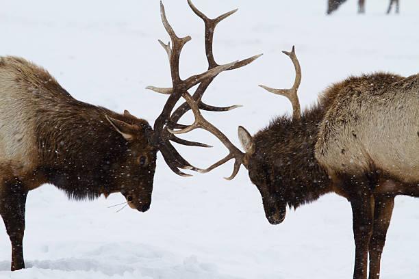 Elk Spar I stock photo
