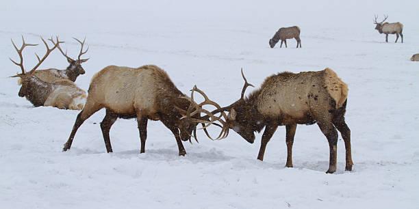 Elk Spar II stock photo