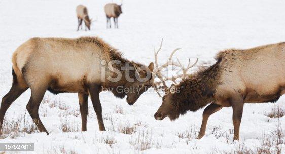465666157 istock photo Elk Sparring 157527611