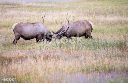 465666157 istock photo Elk Sparring 498030427