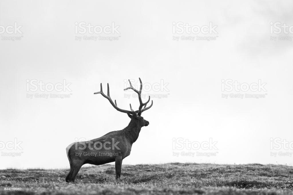Elk Stag Cervus canadensis Standing Alone stock photo