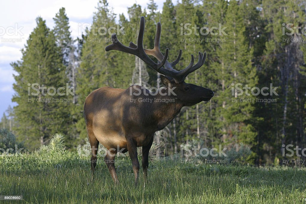 Elk Stance royalty-free stock photo