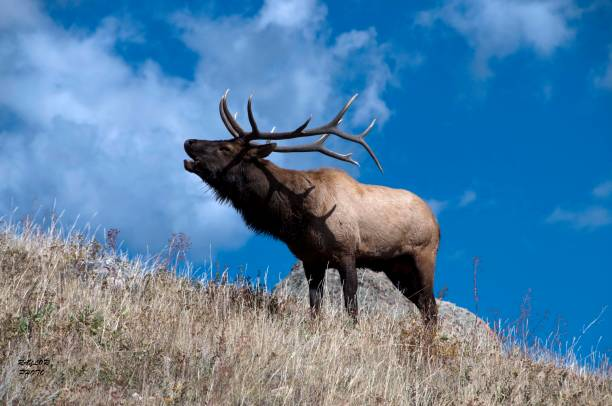 Elk Talk stock photo