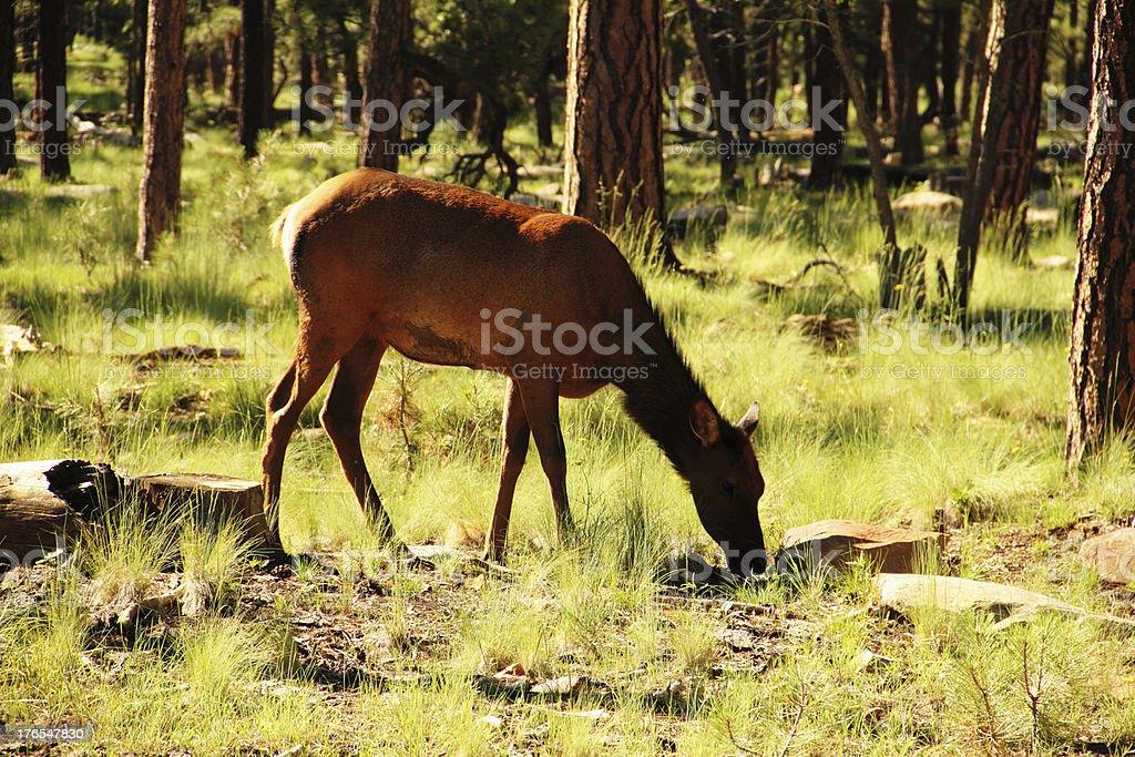 Elk Wapiti Animal Grazing royalty-free stock photo