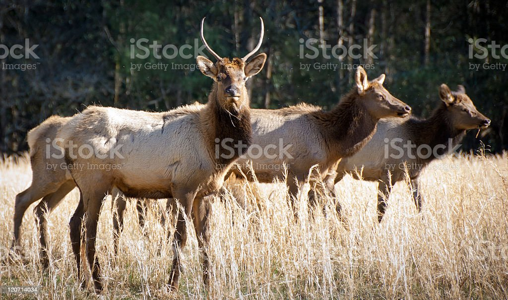 Elk Wildlife Photography in Great Smoky Mountains National Park royalty-free stock photo