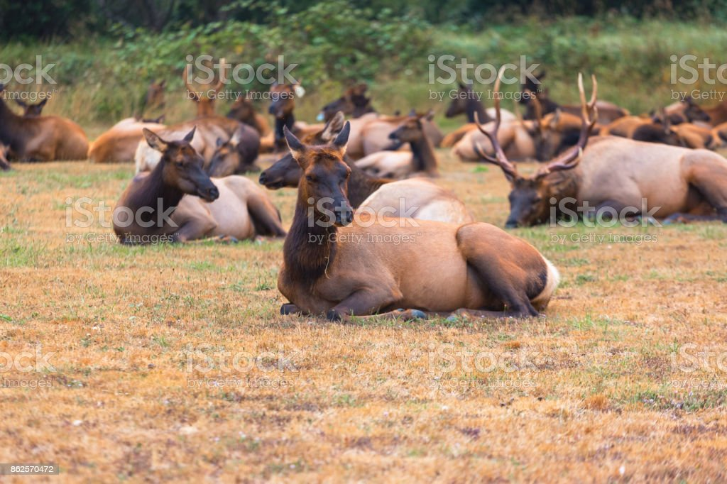 Elk with herd resting in the morning stock photo