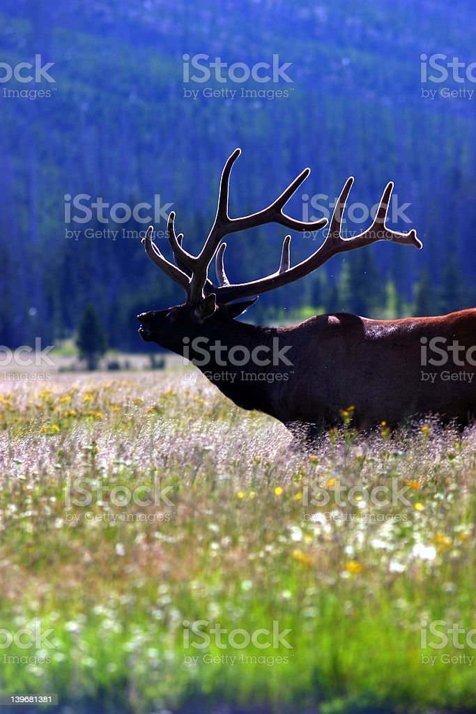 elk with lit velvet 2 royalty-free stock photo