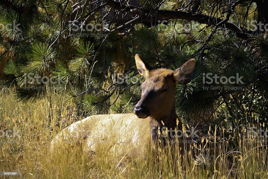 Elk, young royalty-free stock photo