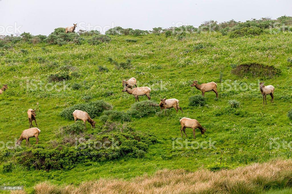 Elks at Point Reyes National Seashore, California stock photo