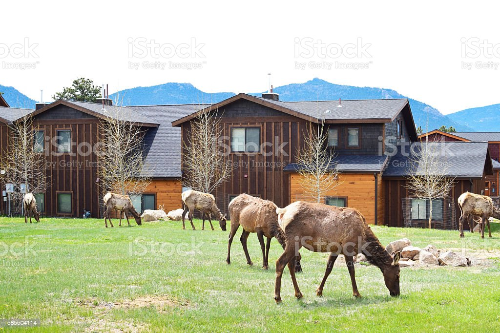 Elks grazing on grass in Estes Park in Colorado stock photo