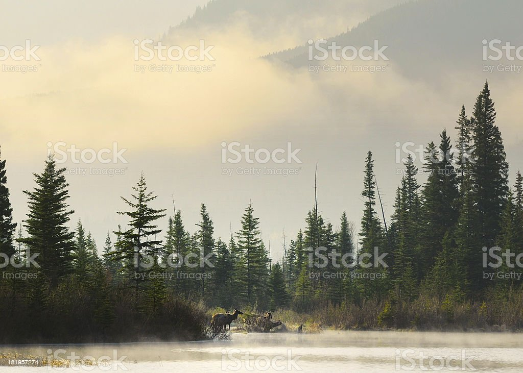 Elks herd at Vermilion Lake in Banff National Park stock photo