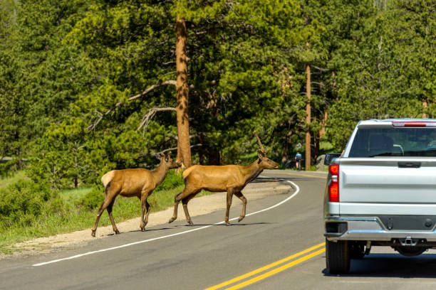 Elks On Road - Two young elks running across U.S. Route 36 on a Spring morning in Rocky Mountain National Park, Colorado, USA. stock photo