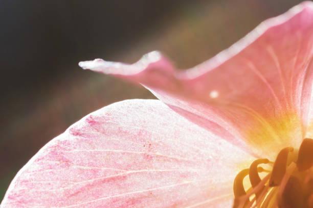 elleboro selvatico nel bosco - elleborus macro - foto di stock immagine - foto stock