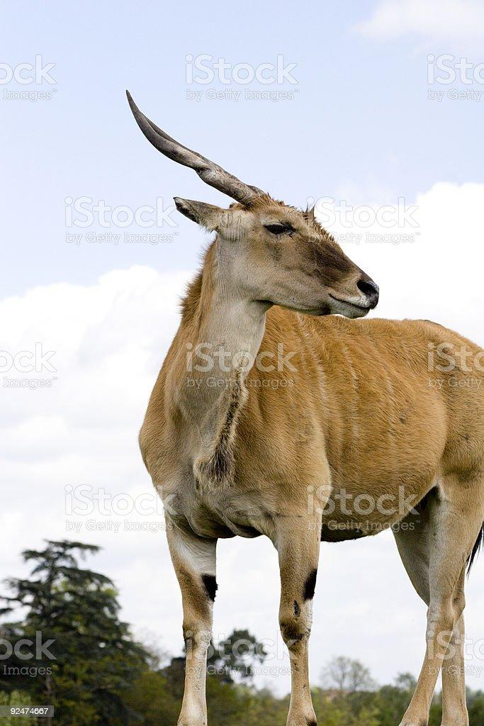 Ellipsen Waterbuck royalty-free stock photo