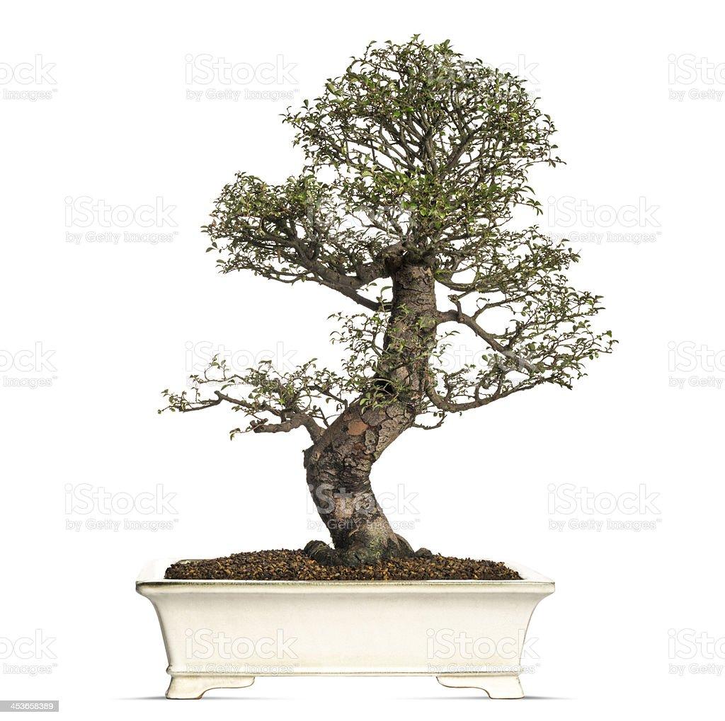 Elm bonsai tree, ulmus, isolated on white royalty-free stock photo