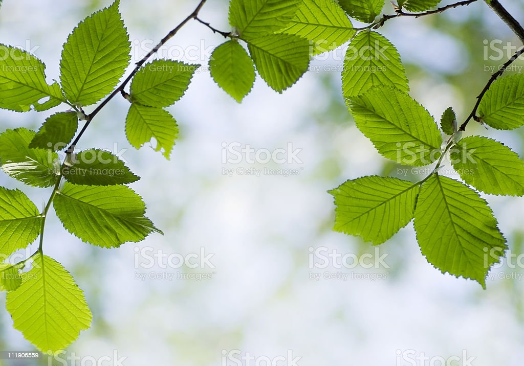 Elm leaves stock photo