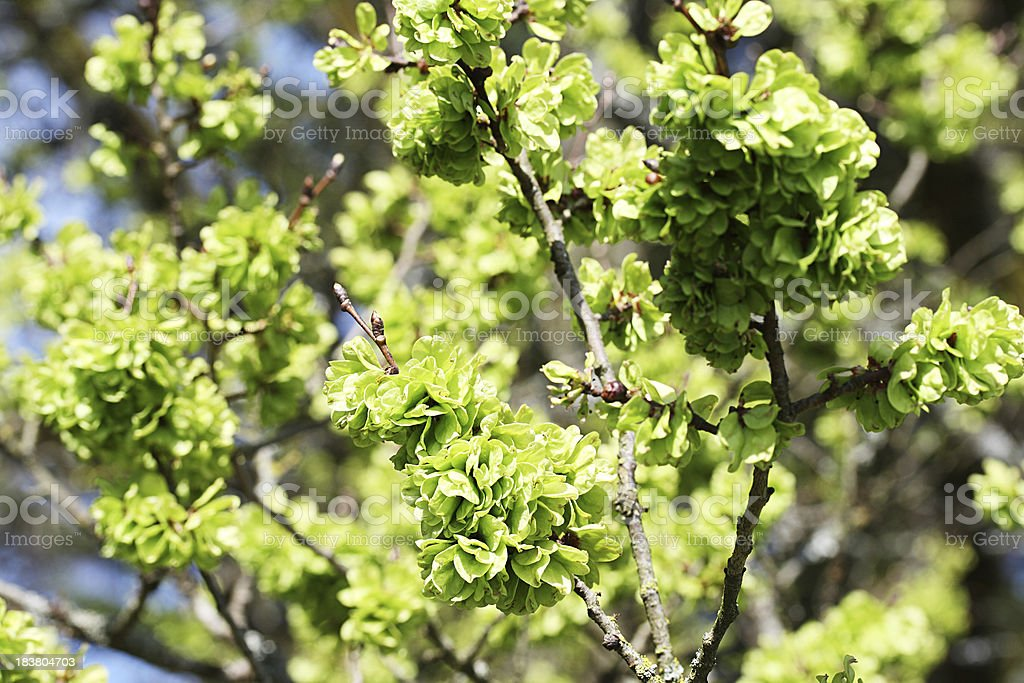 Elm tree blossom in spring royalty-free stock photo