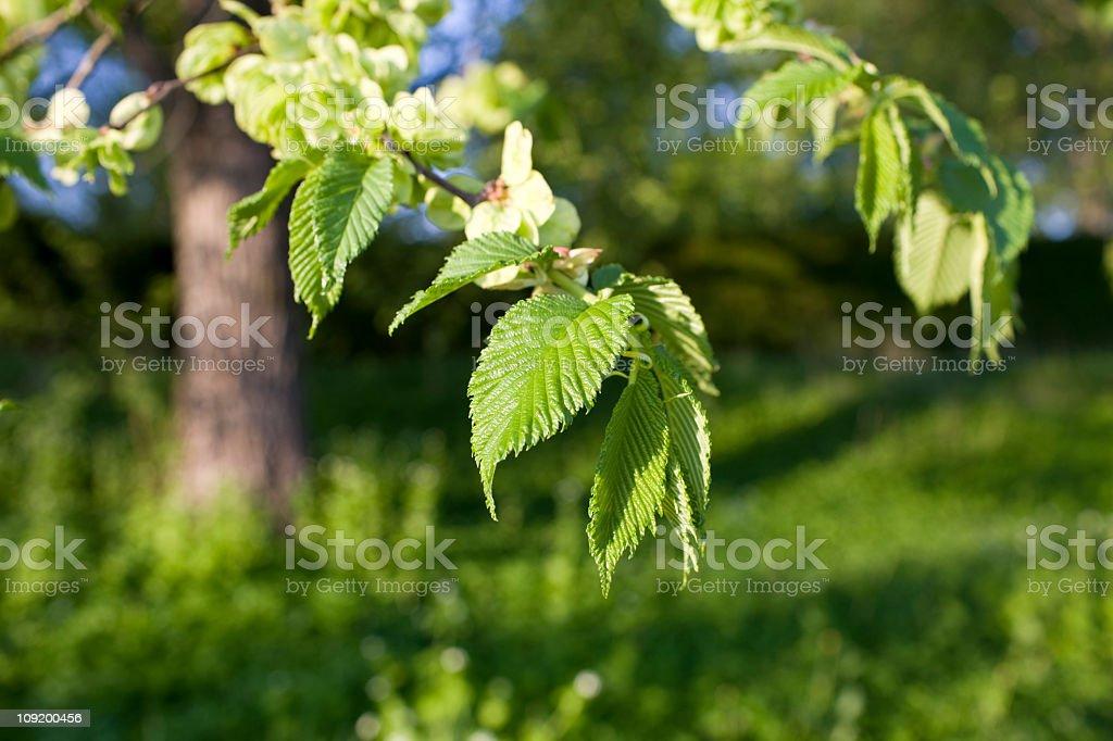 Elm tree in spring stock photo