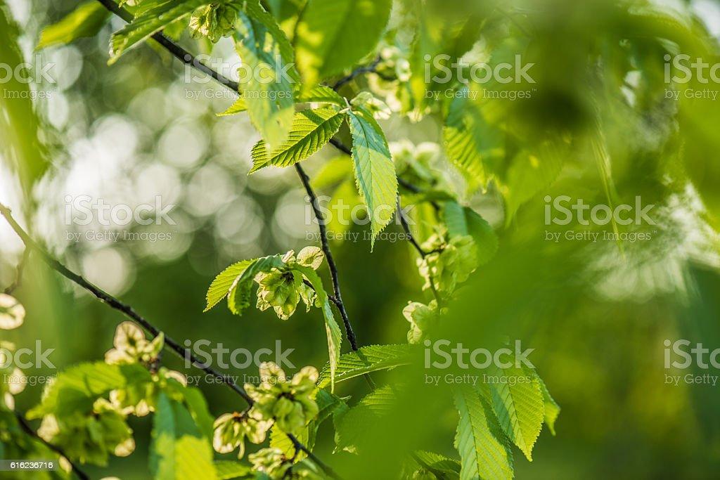 Elm tree leaves stock photo