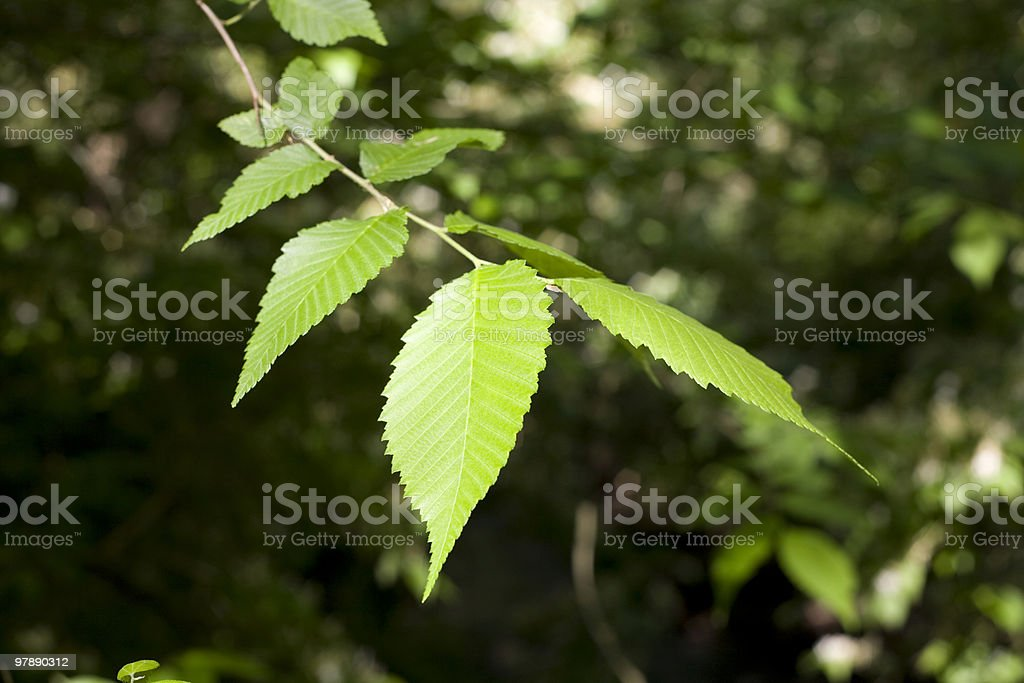 Elm Tree Leaves royalty-free stock photo