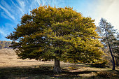 Single elm tree in autumn colours, Lombardy, Italy