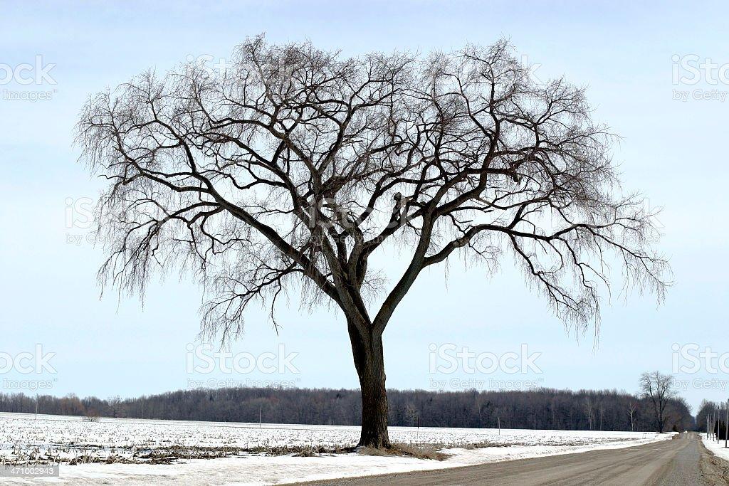 Elm Tree stock photo