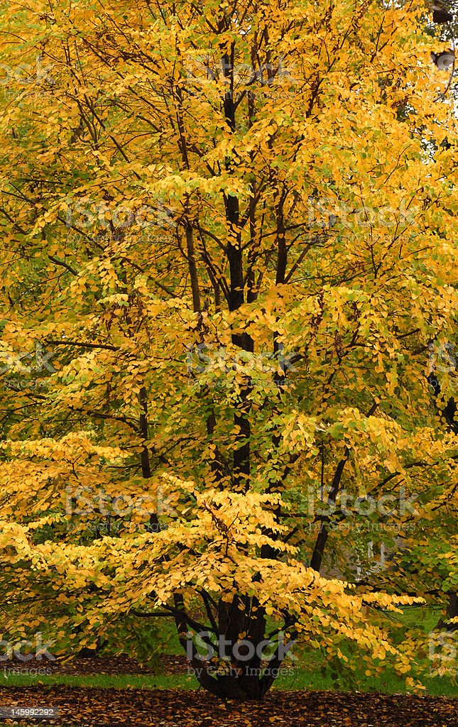 Elm tree showing its beautiful autumn colors royalty-free stock photo