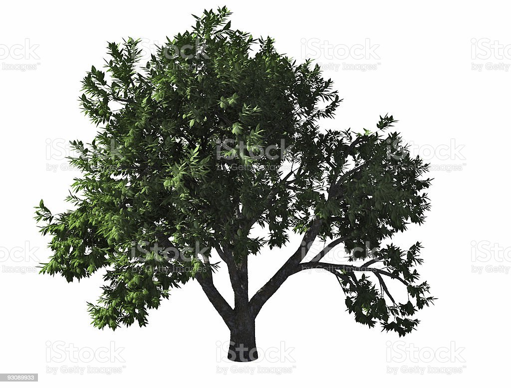 elm-tree royalty-free stock photo