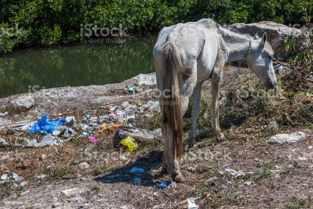 Emaciated horse in Cuba stock photo