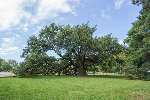 The oak tree is located in Hampton Virginia, outside the Hampton University campus. In 1863 it was under this tree that Lincoln's Emancipation Proclamation was read to the black community. The tree was later named Emancipation Oak.