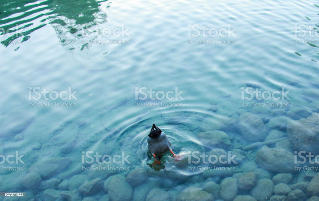 Embarrassed duck - Royalty-free Animal Stock Photo