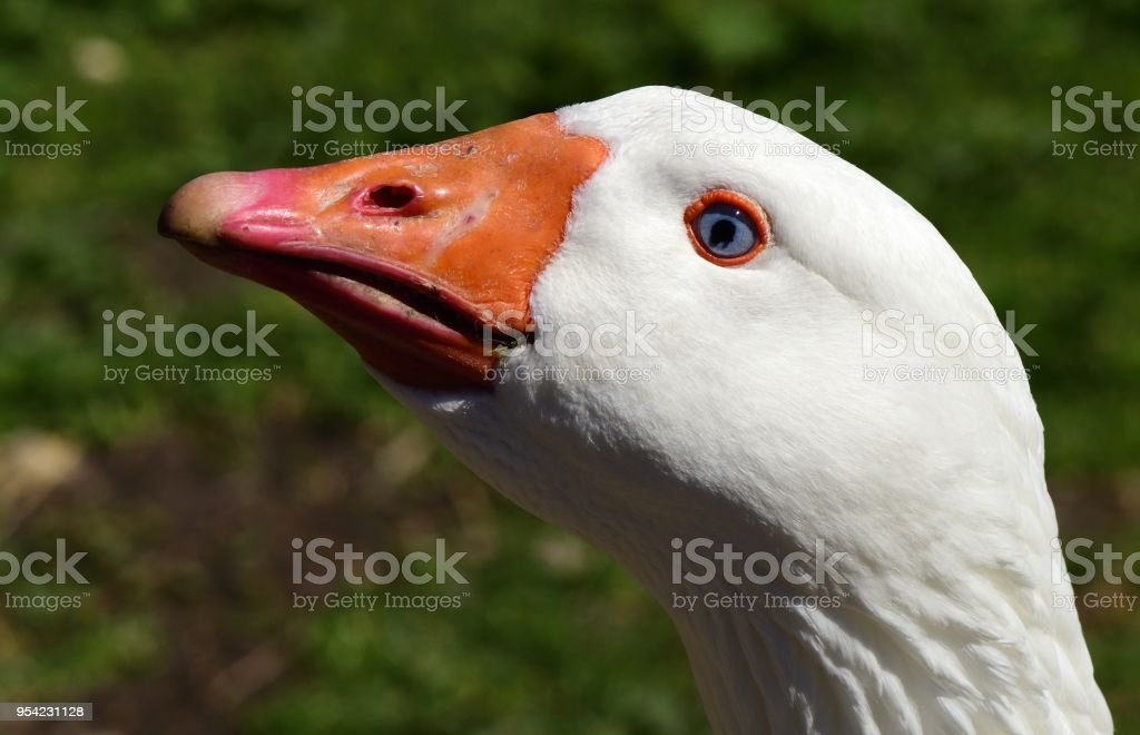 Embden Goose stock photo