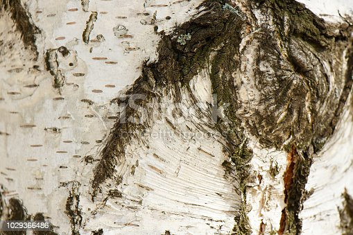 istock Embossed birch textural bark close-up as background 1029366486