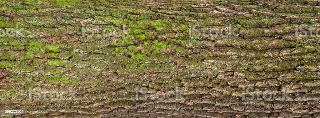 Embossed texture of the brown bark of a tree with green moss and lichen on it. stock photo