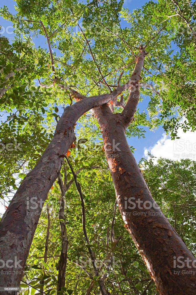 Embrace of the Trees royalty-free stock photo