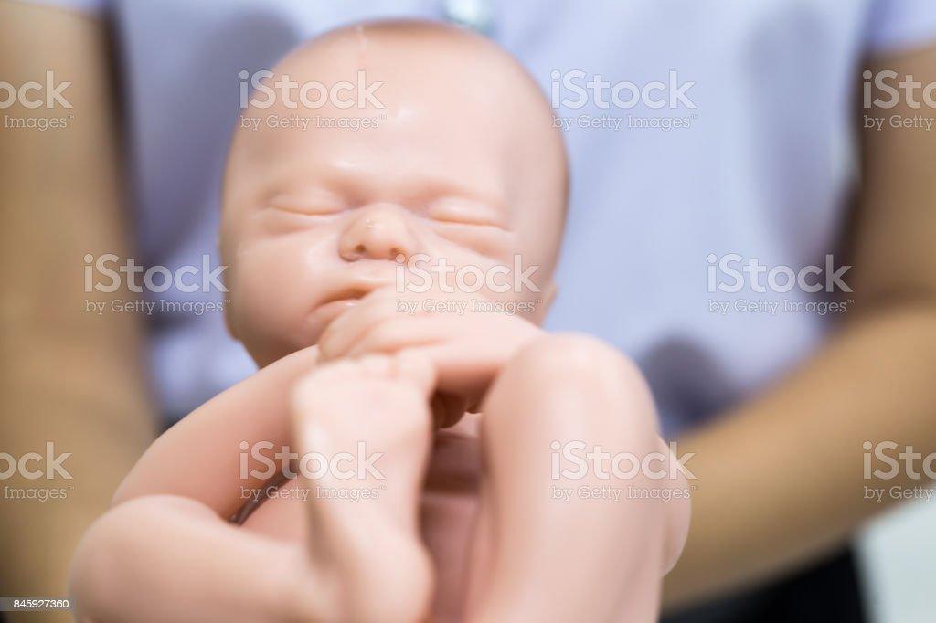 Embryo model, fetus for classroom education. stock photo
