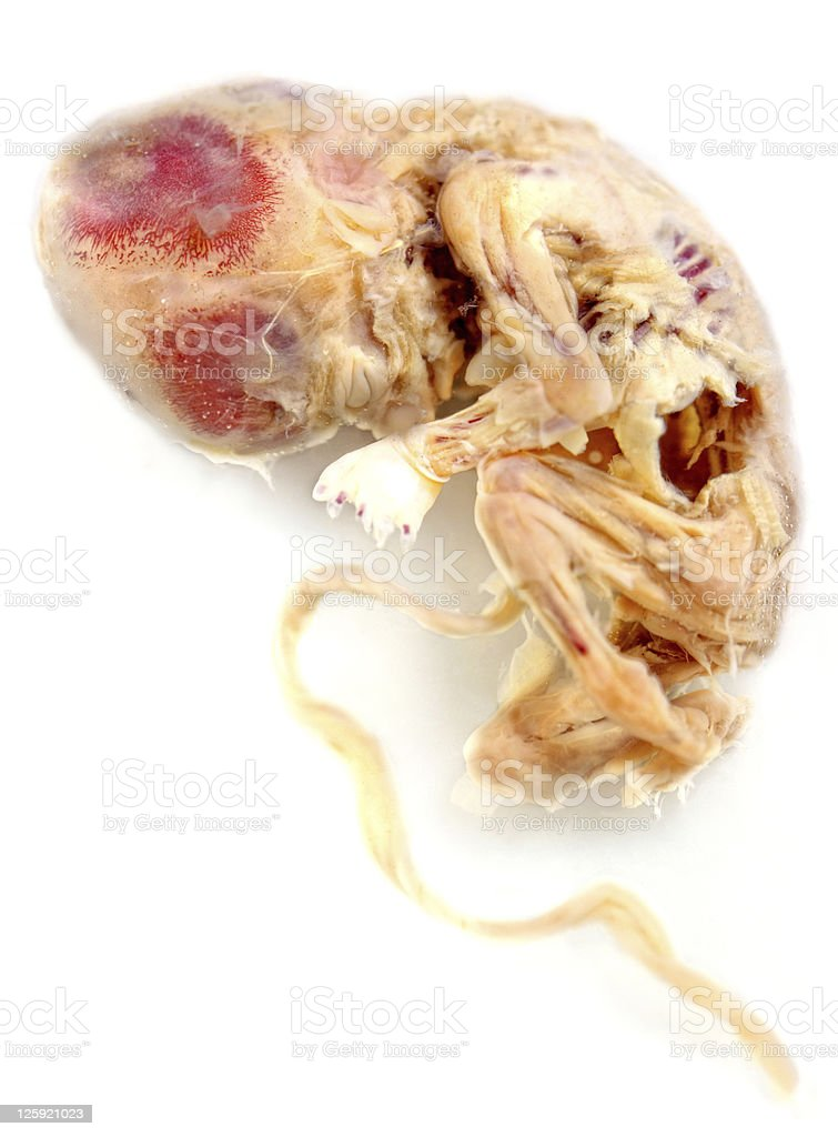 Embryo stock photo