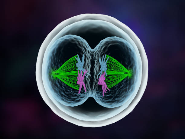 Embryo's first cell cleavage with a dual spindle stock photo